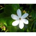 Huile de Monoï AOC Tahiti